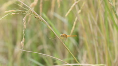 Dragonfly on the rice plant Stock Footage