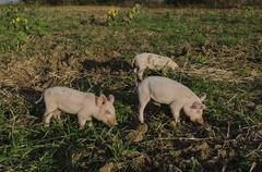 Piglets eat the fresh grass and dig root about Stock Photos