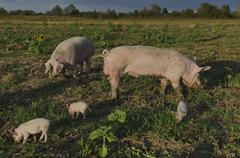 Biological sow, boar and her piglets Stock Photos