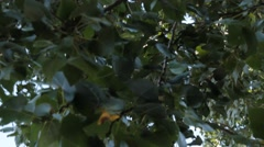 panning up to sky looking through blowing leaves on branches - stock footage
