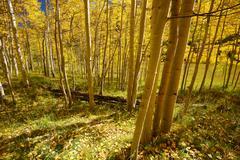 aspen tree in autumn - stock photo