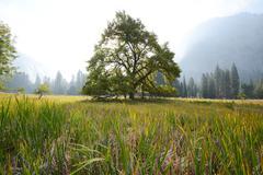 elm tree - stock photo