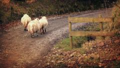 Group Of Sheep Walking Up Dirt Road Stock Footage