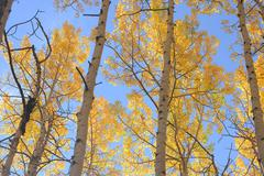 Yellow aspen Stock Photos