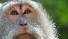 Close Up of Rhesus Monkey in the Wild in Ubud, Bali, Indonesia Stock Footage