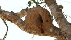 Rufous hornero in nest, 4k Stock Footage