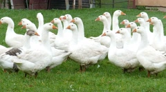 White geese on a farm 1. Farm animals Stock Footage