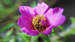 Timelapse. Pink flower blooming on black background Stock Footage