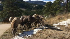 Bighorn sheep Stock Footage