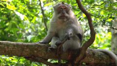 Rhesus Monkeys in the Wild in Ubud, Bali, Indonesia Stock Footage