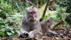 Rhesus Monkeys in the Wild in Ubud, Bali, Indonesia Stock Footage