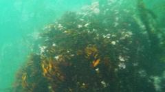 2d purple sea urchin - stock footage