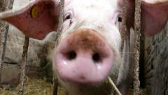 Pig behind bars in a dingy pigpen eats and makes sounds. Farm animals - stock footage