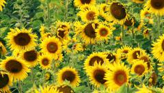 Yellow Sunflower Zoom In Stock Footage
