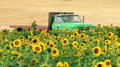 Farm Truck and Field of Sunflowers Stock Footage