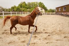 Young arabian horse Stock Photos