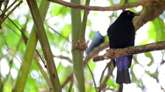 Asian Fairy-bluebird (Irena puella) sits on branch Stock Footage