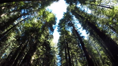 2d red wood forrest looking up 3 Stock Footage
