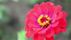 red chrysanthemum come into focus - stock footage