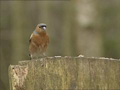 European Finch (Erithacus rubecula) feeding on bird seed - on camera Stock Footage