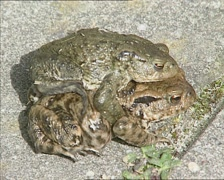 Common Toads in amplexus or mating position Stock Footage