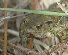 Common Toad hidden between grass blades - on camera Stock Footage