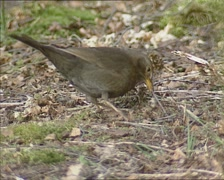 Blackbird (turdus merula) pulling an earthworm from the ground. Stock Footage