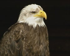 Bald Eagle (Haliaeetus leucocephalus) perched - medium shot - stock footage