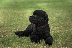 Sunny, the new Obama family pet, lies on the South Lawn of the White House, A Free Stock Photos