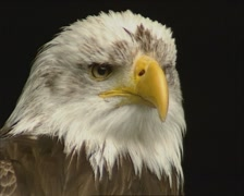 Bald Eagle (Haliaeetus leucocephalus) perched  - close up head - stock footage