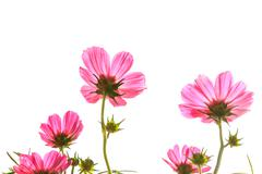 pink cosmos on isolated background - stock photo