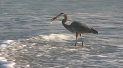 Great Blue Heron Fishing on the Atlantic Ocean Shoreline, Cocoa Beach, FL. Stock Footage