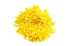 Yellow color chrysanthemum Stock Photos