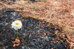flower survive on ash of burnt grass - stock photo