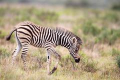 Plains zebra (equus quagga) Stock Photos