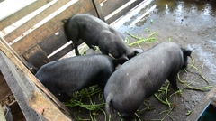 Large Black Pig eating at farm in Pattalung, Thailand. Stock Footage