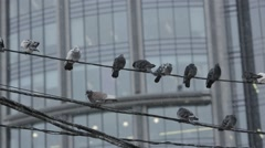 pigeons sitting on the wires - stock footage