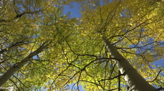 Leaves of an aspen tree - stock footage