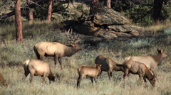 Rocky mountain bull elk and herd Stock Footage