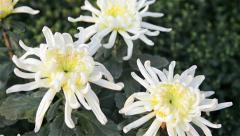 White chrysanthemum come into focus Stock Footage
