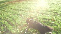 King Charles Cavalier Dog Running On A Lead Park Field Slow Motion Hand Held Stock Footage