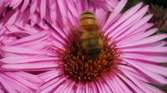 Hungry bee on the daisy. Stock Footage