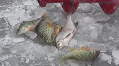 Fish big ruff on ice of river in winter brace 4k Stock Footage