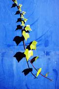 creeper plant on a wall with leaf shadows - stock photo