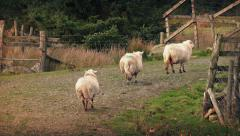 Sheep Walking Up Slope In Afternoon Light Stock Footage
