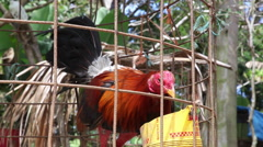 Caged cock eating Stock Footage