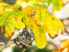 Closeup of fungi growth on oak tree Stock Photos