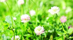 Clover Wildflowers In The Wind Stock Footage