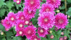 purple chrysanthemum come into focus - stock footage