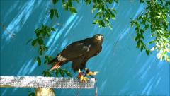 African Auger Buzzard, takes flight Stock Footage